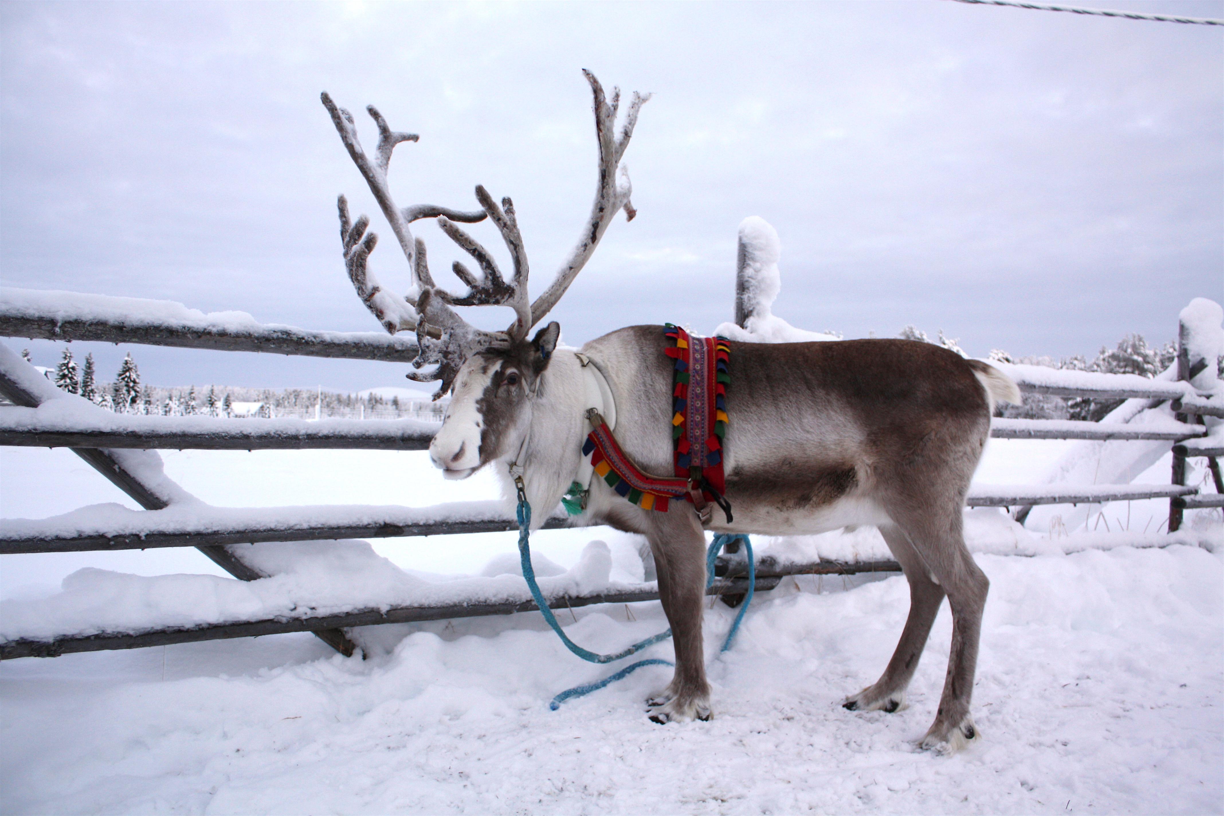 568decc680c55 What are Santa s reindeer like  – FINLAND