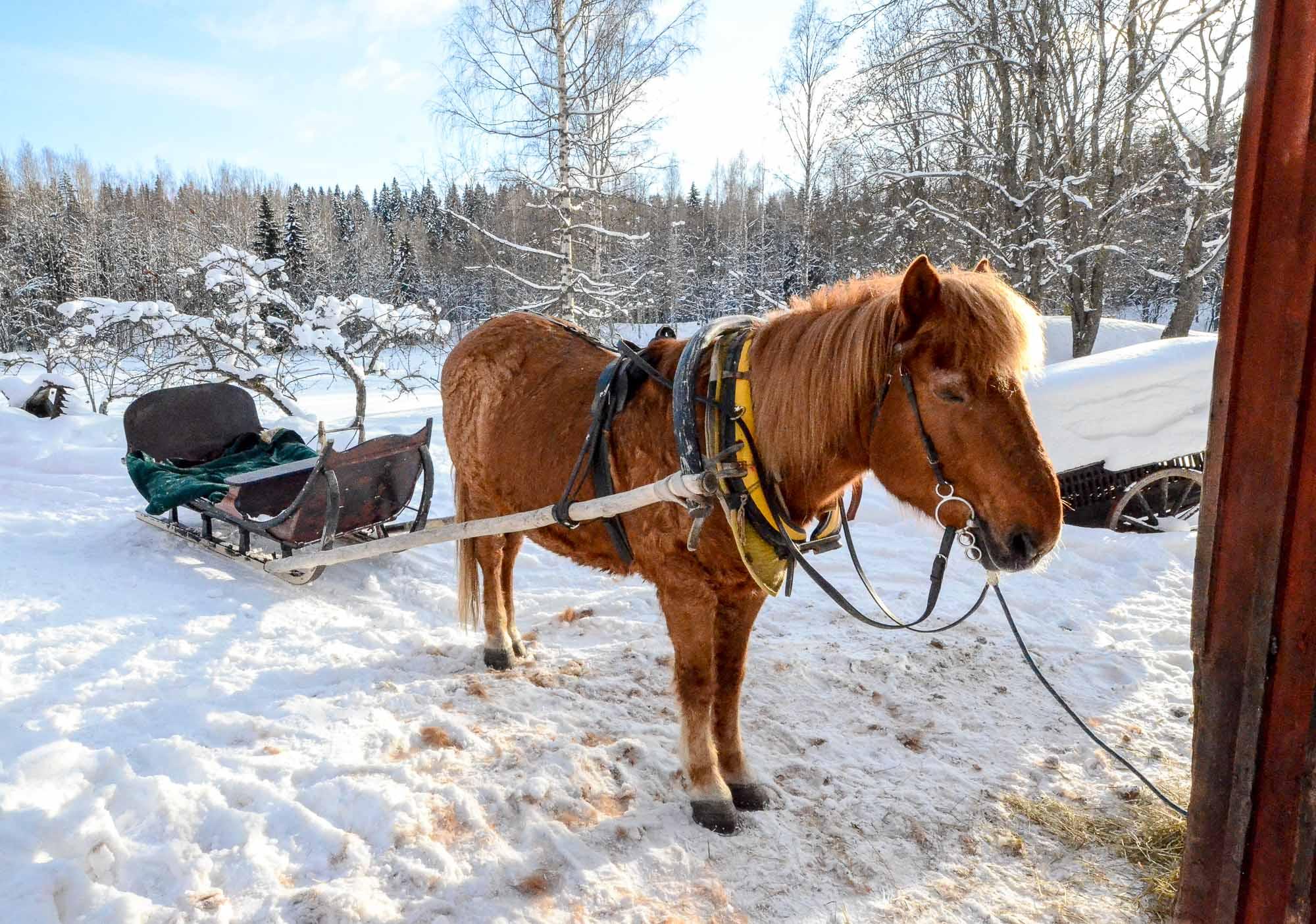 Finnhorse Miilu at Konttila, Puijo, Kuopio, Finland. Photo: Upe Nykänen
