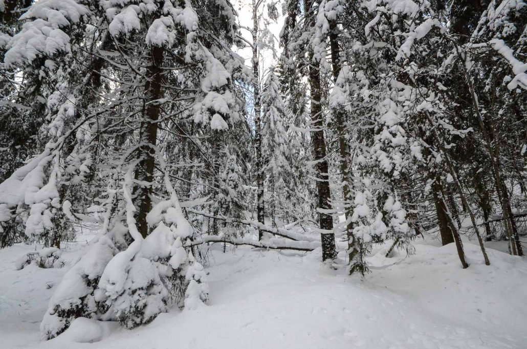 Puijo forest in winter. Photo: Upe Nykänen