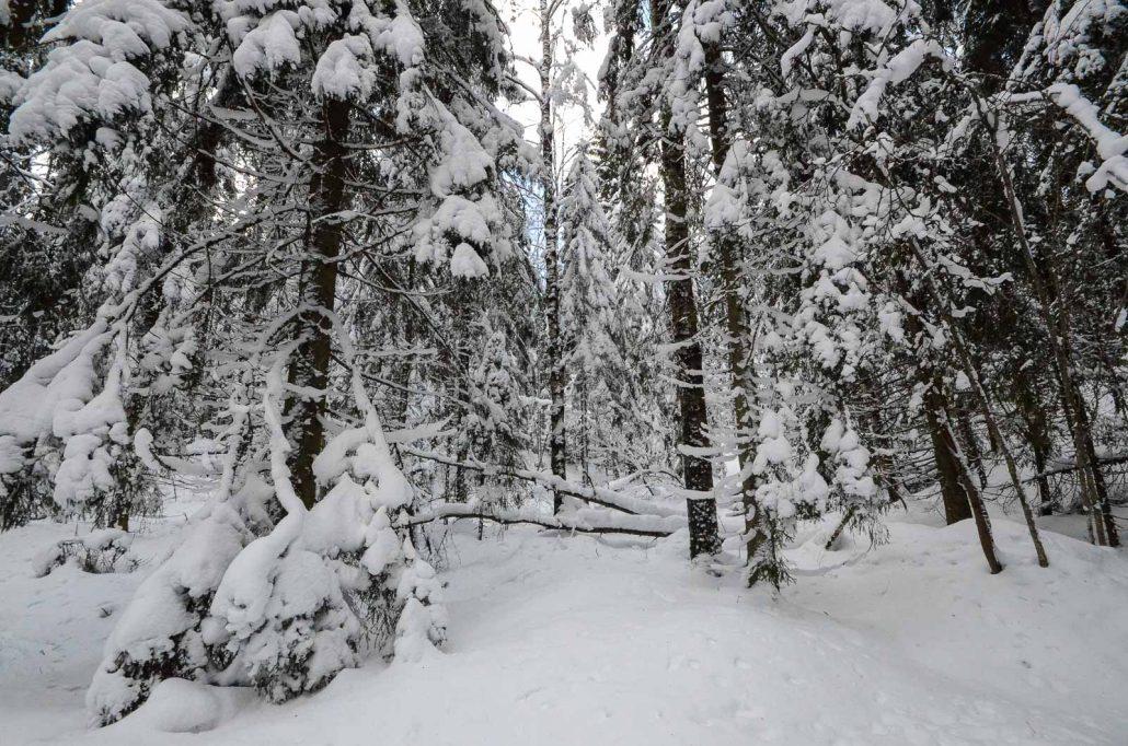 Puijo forest in winter. Photo: Upe Nykänen