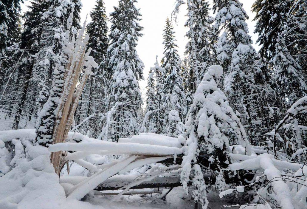 Fallen fir tree at Puijo conservation area, Kuopio, Finland. Photo: Upe Nykänen