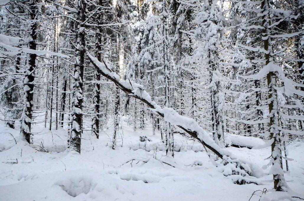 Snowy fir trees at Puijo conservation area, Kuopio, Finland. Photo: Upe Nykänen