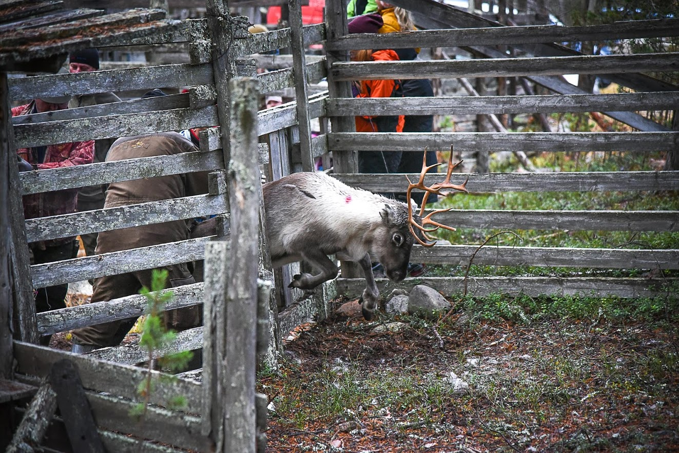 What Happens Reindeer Round Finland Naturally